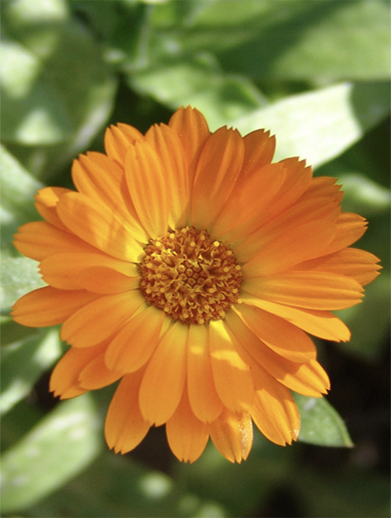 Calendula orange yellow pot marigolds