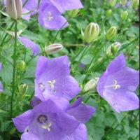 Carpathian Bellflower Tussock Bellflower