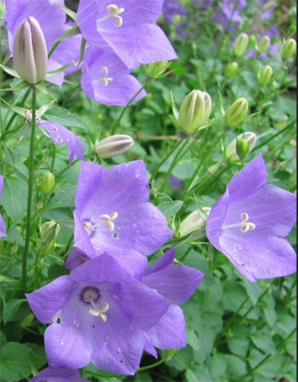 Campanula Carpatica Carpathian Bellflower Tussock Bellflower