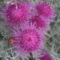 Centaurea Gymnocarpa Velvet Centaurea