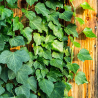 English Ivy plants growing on walls