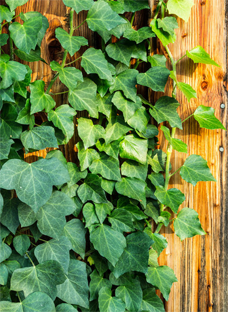 English Ivy plants growing on walls