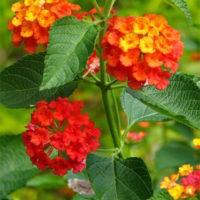Lantana groundcover plant