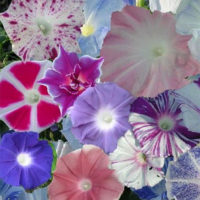 Morning Glory Wide Range Of Colours