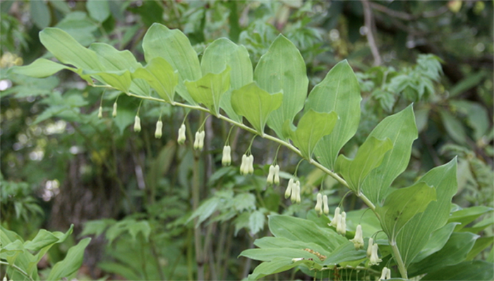 Solomon's seal grown in cool shady areas