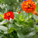 Zinnias Summer Flowers Care