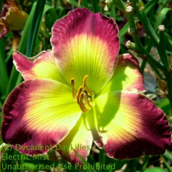 Shop Colourful Daylilies