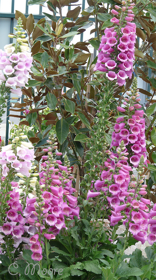Foxglove plants in my garden