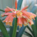 Steps To Make Clivias Bloom