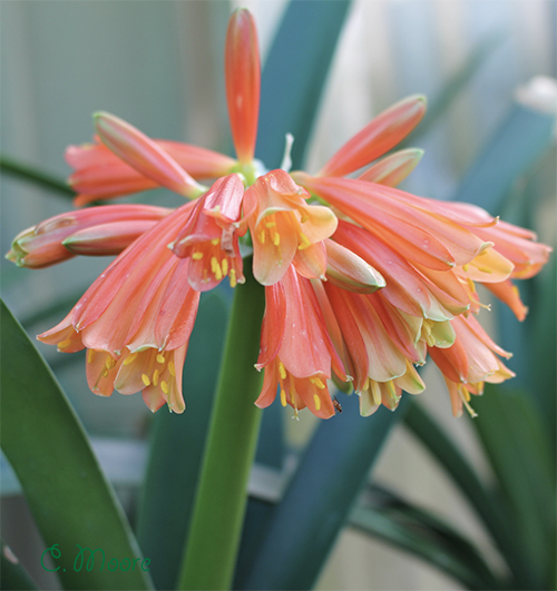 Growing clivias to see stunning blooms