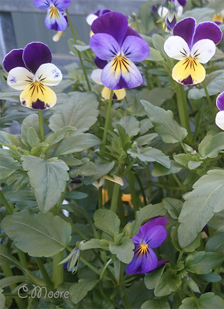 Johnny Jump Up Heartsease viola wild pansy edible flowers