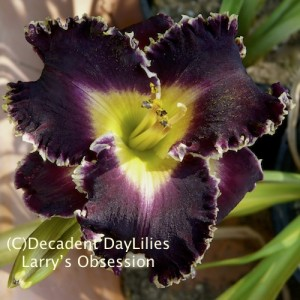 Buy Dark Near Black Daylilies