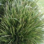 Lomandra Longifolia Growing Care