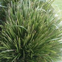 Lomandra Longifolia Australian Native