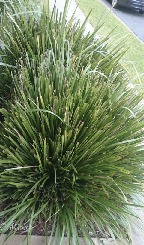 Pruning Lomandra Longifolia Australian Native