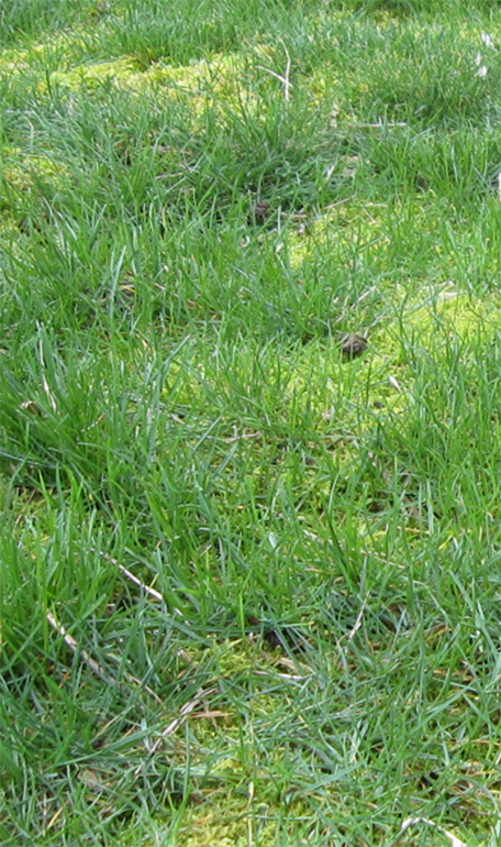 Moss growing in lawns