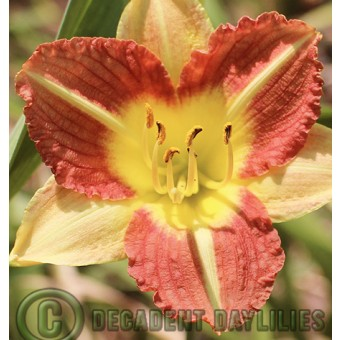 Bi-colour Daylilies
