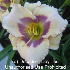 White Daylilies For Sale