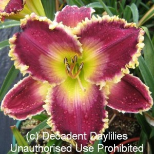 Large Daylilies For Sale