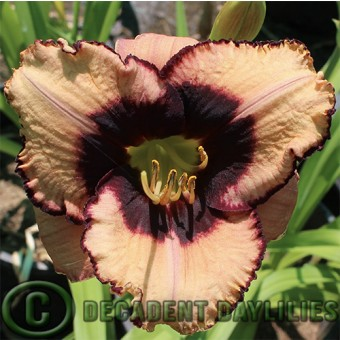 Single Daylilies For Sale