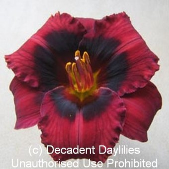 Red Daylilies For Sale