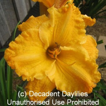 Shop Yellow Daylilies