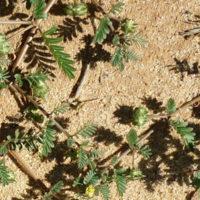 Bindi weed identification photo