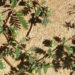 Bindi Weed Natural Control