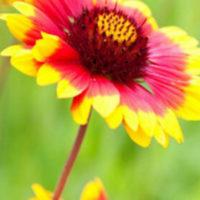 Blanket flower Gillardia Aristata
