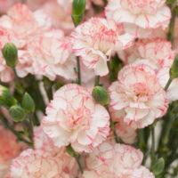 Carnations propagation methods