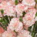 Carnations One Of A Kind