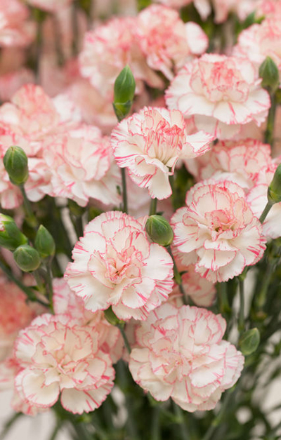 how to take carnation cuttings