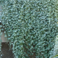 Dichondra Silver Falls grows in hanging baskets or spread by runners.
