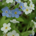 Forget Me Not Flower Care