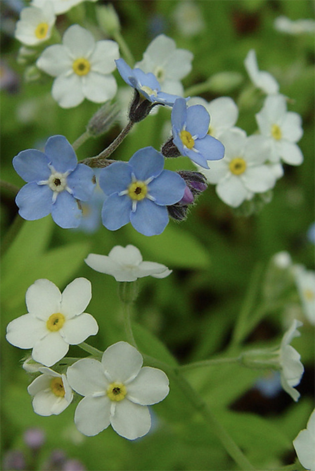 Forget-Me –Not Plants self seed throughout your garden