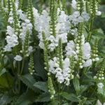 Obedient Plant – False Dragonhead