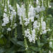 Obedient Plant – False Dragonhead