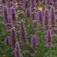 Agastache supply 4 months of enjoyable blooms