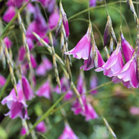 Dierama fairy fishing rods