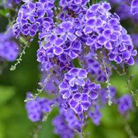 Duranta repens 'Geisha Girl' flowering shrub