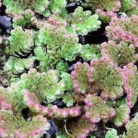 Problem azolla weed control
