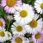 Seaside Daisy Planting Care