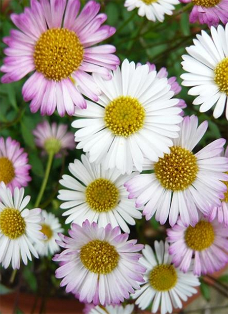 Seaside Daisy planting and care