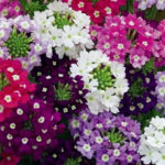 Verbena Flower Plant Care