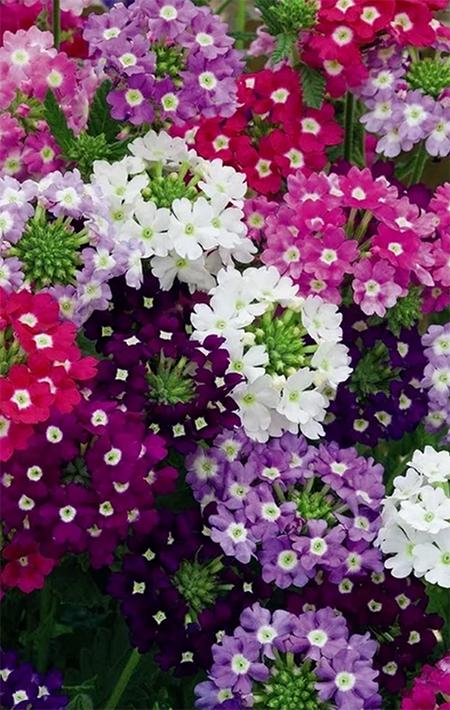 Sun hardy verbena flower in clusters