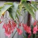 Begonia Fuchsioides Plant Care