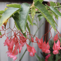 Begonia Fuchsioides with vibrant hanging flowers