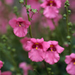 Diascia flower plant blooms in spring and autumn