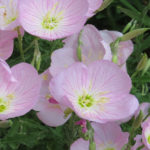 Evening Primrose Plant Facts