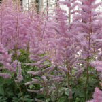 Astilbe Perennial Plant Grow Care